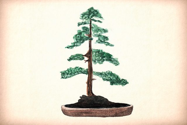 Chokkan Formal upright style Bonsai