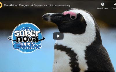 Video: The African Penguin – A Supernova mini documentary