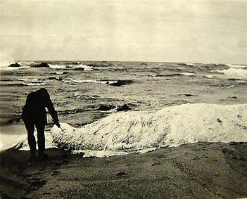 An old photograph of the mysterious creature named 'Trunko' which washed up on the beach in Kwa-Zulu Natal.